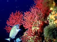 Egadi. Riserva Marina. Gorgonia rossa