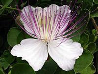 Pantelleria. Fiore di cappero