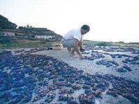Pantelleria. Uva zibibbo